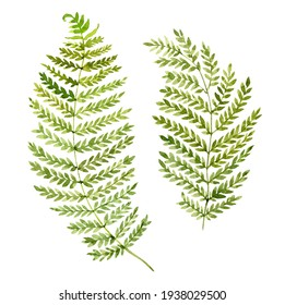 Fern leaves group. Hand drawn watercolor illustration on white background
