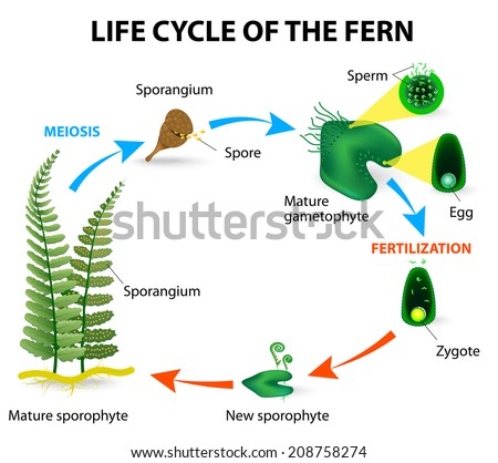 fern life cycleのイラスト素材 208758274 shutterstock
