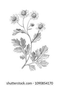 Feverfew Pencil Illustration Isolated on White with Clipping Path