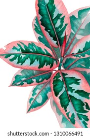 Ficus isolated. Watercolor illustration with plant, greeting card, poster. Realistic botanical drawing of pink ficus elastica close up on white background.