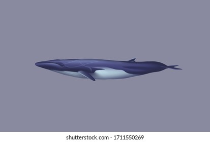 The fin whale's body is long and slender, coloured brownish-grey with a paler underside.