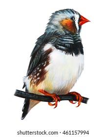 Finches bird drawing (Taeniopygia guttata)