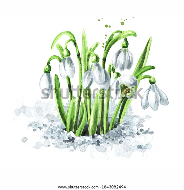 First spring flowers snowdrops grows out of the snow. Hand drawn watercolor illustration, isolated on white background