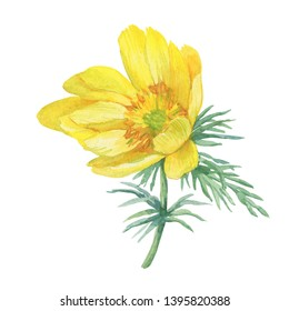 First spring wildflower yellow Adonis vernalis (also known as pheasant's eye and false hellebore). Hand drawn watercolor painting illustration isolated on white background.