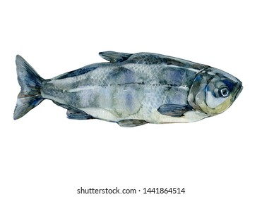 Fish Silver Carp, Hypophthalmichthys Molitrix Isolated on White Background. Watercolor illustration .