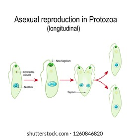 Fission, or Asexual reproduction in Protozoa (longitudinal). Fission is the division of a single entity into two or more parts and the regeneration of those parts into separate