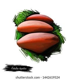 Fistulina hepatica beefsteak fungus polypore, ox tongue mushroom bracket fungus Agaricales. Edible fungus isolated on white. Digital art illustration, natural food autumn harvest or fall crop