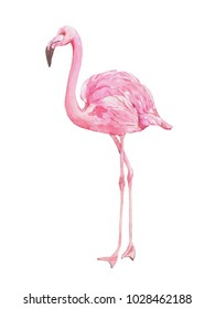 Flamingo .Hand drawn  watercolor painting  isolated on white background.