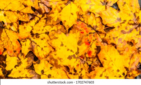 Flat lay of maple leaves with spots as they start to decay on the ground, with digital painting effect, for background or element with themes of autumn, nature, transition and change