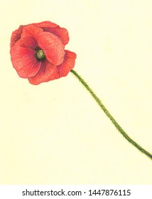 A Flavor is always beatifull, but one flover is a portret. Mr. Red Poppy. Color pencils, paper