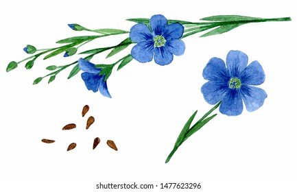 flax flowers and seeds. Isolated on white background. watercolor drawing