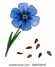 Flax flowers and seeds. Isolated on white background. Hand drawn flowers watercolor sketches