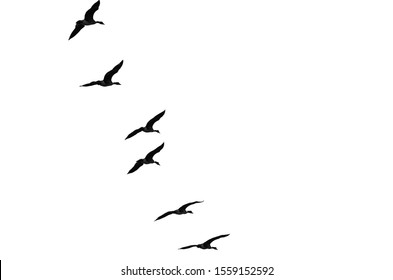 Flock of Flying Geese Silhouetted on a White Background