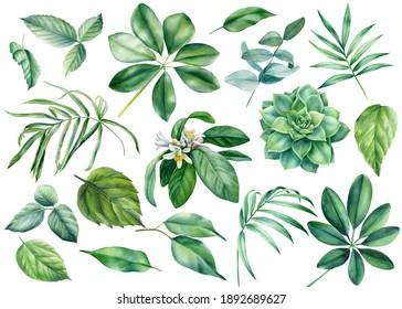 Flora design elements. Leaves of tropical plants on white background, watercolor botanical illustration