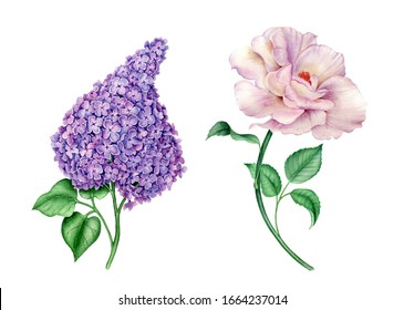 Floral collection: pink rose and violet syringa with green leaves botanical watercolor illustration isolated on a white background suitable for wedding invitation or greeting cards designs