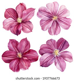 Floral set pink clematis flowers on an isolated white background. Watercolor illustrations.