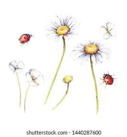 Floral set. Watercolor flowers camomile and ladybugs, isolated on white background. Botanical illustration
