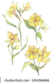 Floral set with yellow alstroemeria flowers. Hand painted watercolor illustration.