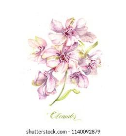 Floral watercolor oleander pink illustration. Hand painted floral botanical.