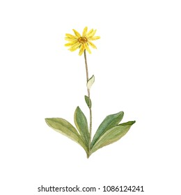 flower of arnica, watercolor drawing medicinal plant, botanical illustration in vintage style, isolated floral element, hand drawn illustration