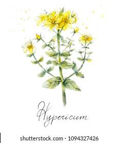 Flower of Hypericum. St. John wort. Collection herb. Water color hand drawn illustration. Botanical illustration