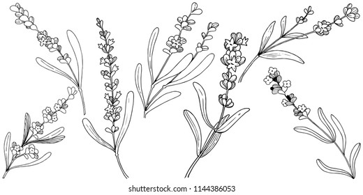 Flower lavender in a style isolated. Full name of the plant: lavender. flower for background, texture, wrapper pattern, frame or border.