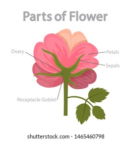 Flower part infographics. Biology and education concept. Flora anatomy. Ovary, petal and stigma. Isolated flat  illustration