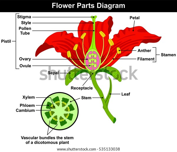 flower parts diagram stem cross section stock illustration 535133038 Map of Cross