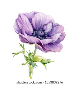 Flower purple anemone painted in watercolor on a white background.