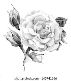 Flower rose sketch  hand drawing