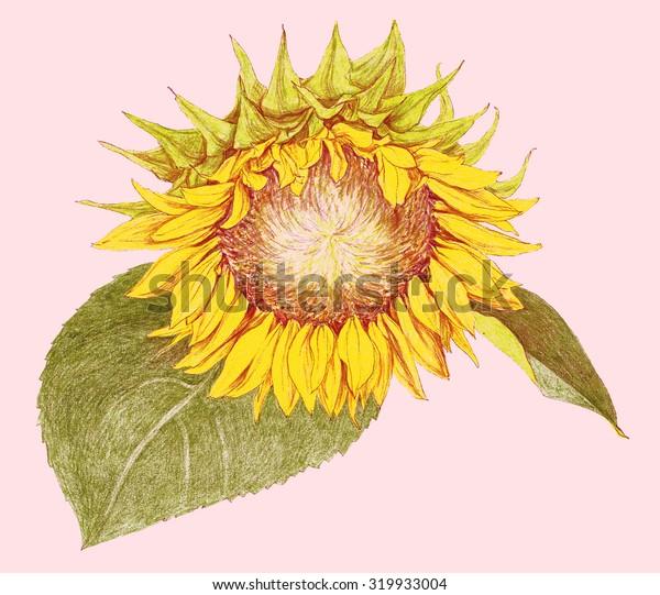 Flower - Sunflower - crayon drawing