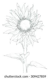 Flower - Sunflower - pencil drawing