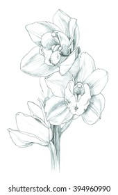 Flower - white cymbidium orchid - hand pencil drawing