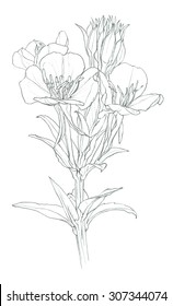 Flower - wild herb - evening primrose - pencil drawing