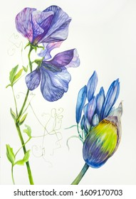 Flowers, buds, branches of sweet pea  and decorative scented onion. Decorative composition. Watercolor. Floral motifs. Use printed materials, signs, items, websites, maps, posters.