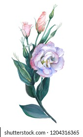 Flowers, buds and leaves - drawing by watercolor. Eustoma. Use printed materials, signs, posters, postcards, packaging.