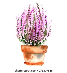 Flowers painted in watercolor. Heather in a pot. Watercolor painting on white background.