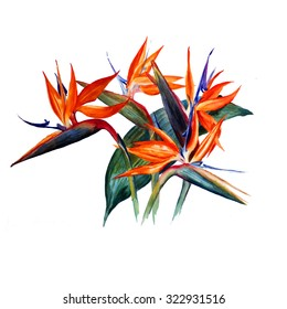 Flowers Strelitzia, isolated on white background. Bird of paradise flowers. Watercolor painting.