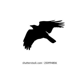 Flying Australian Raven silhouette, Corvus coronoides