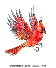 Flying bird Cardinal, hand drawing, sketch. An image of a bird in watercolor isolated on white background with clipping path.