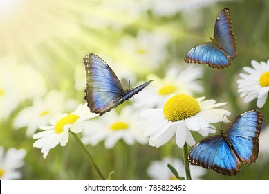 flying butterflies in a flowery and sunny meadow