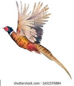 Flying pheasant. Isolated from white background. Hand drawn
