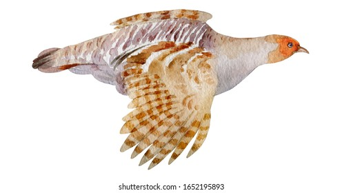 Flying quail. Isolated from white background. Hand drawn
