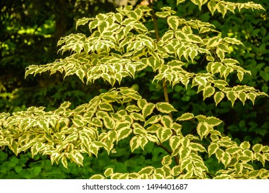 Foliage of kousa dogwood (binomial name: Cornus kousa 'Summer Fun') early in summer, northern Illinois, USA, with digital oil-painting effect