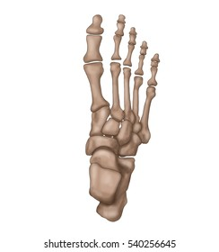 foot anatomy / foot bones