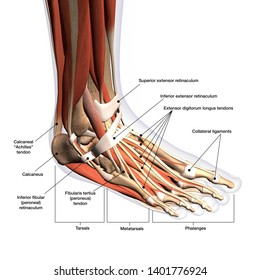 Foot Anatomy labeled medical illustration, 3d Rendering