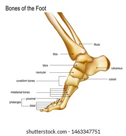 Foot with Ankle. Realistic skeleton of human leg with titles of bones Anatomy of joints, Medial aspect view. For advertising or medical publications. illustration stock .