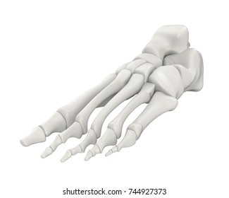 Foot Bones Anatomy Isolated. 3D rendering
