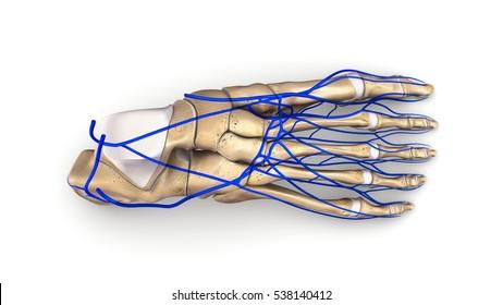 Foot bones with veins top view 3d illustration