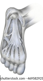 Foot - Bottom Cutaway View. Shown is the plantar fascia, a fibrous band of tissue on the sole of the foot that helps to support the arch. Plantar fasciitis is caused by inflammation of the fascia.